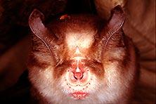 Rhinolophus_mehelyi_INSPEE_HISR_Kaloust_Paragamian